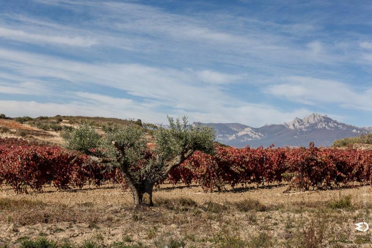 paisaje olivos