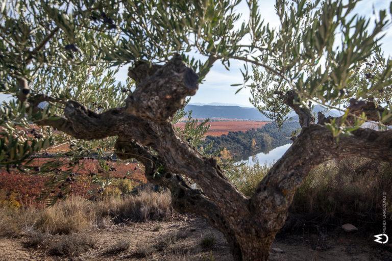 Olivo con río Ebro al fondo